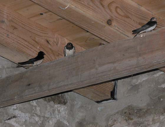 Swallows - House Martins?